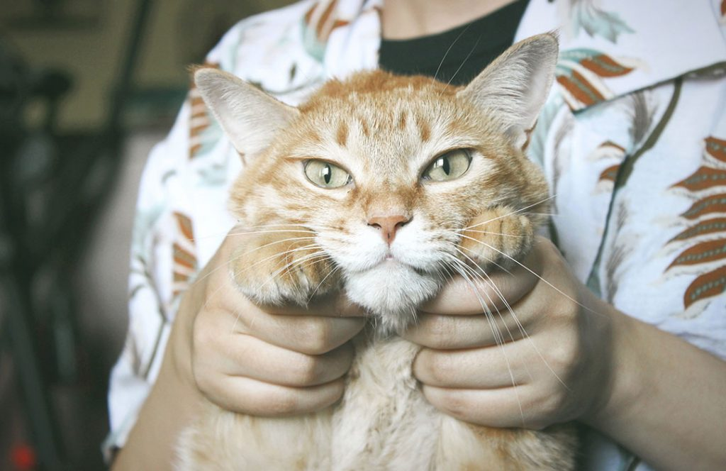 orange cat with person's hands