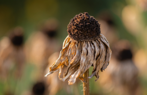 dying brown sunflower